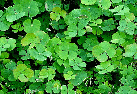 Four-leaf-clover-patch