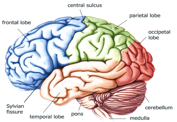 Human-Brain-Color